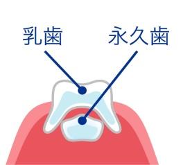 あごの中で永久歯が時間をかけて成長します